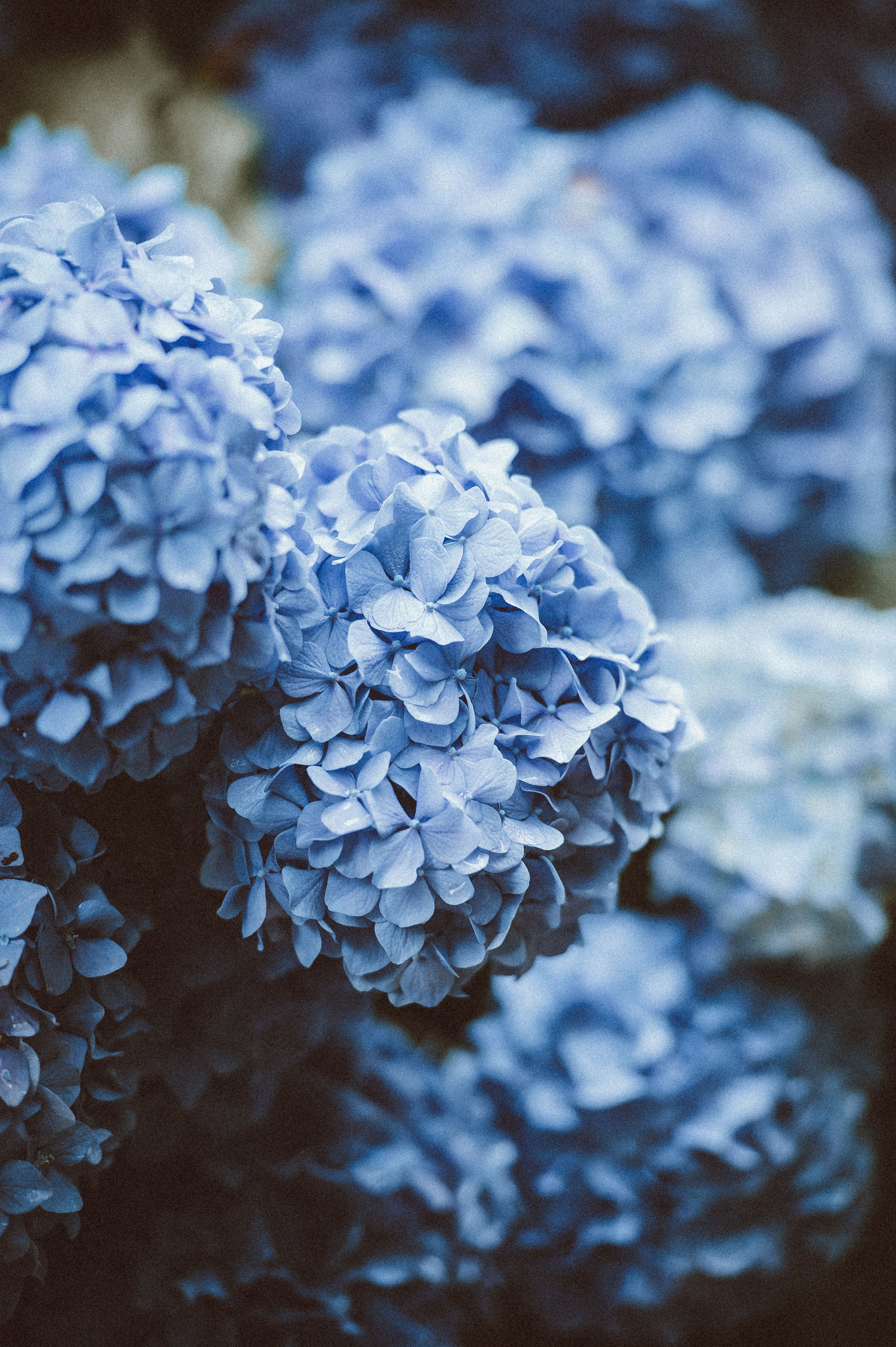 Blue Flowers Wallpaper Iphone Android Background Lockscreen Followme Blueflowerwallpaperiphone Hydrangea Picture Flowers Photography Blue Hydrangea