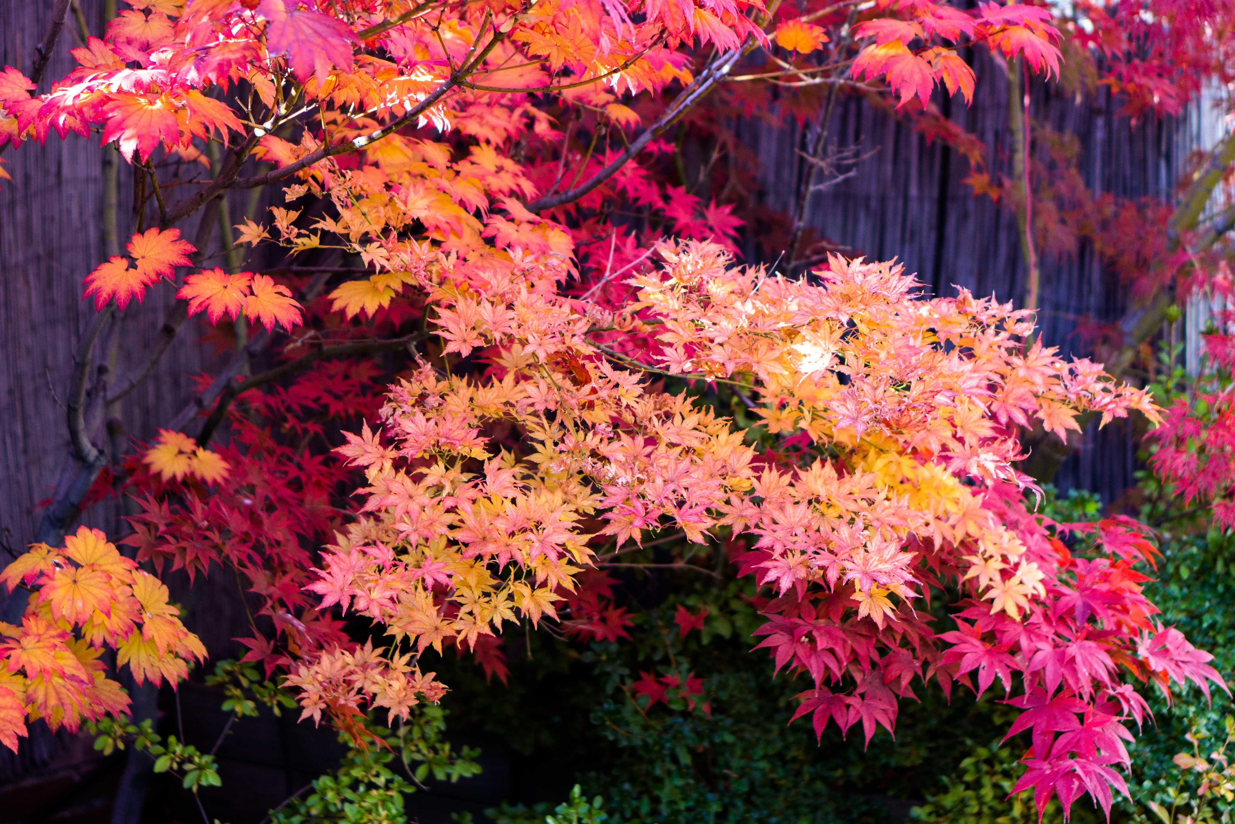 Acer Palmatum Shigitatsu Sawa And Atropurpureum Japanese Maple Tree Back Garden Landscaping Japanese Garden