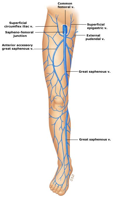 Great saphenous vein … | Saphenous vein | Pinte…