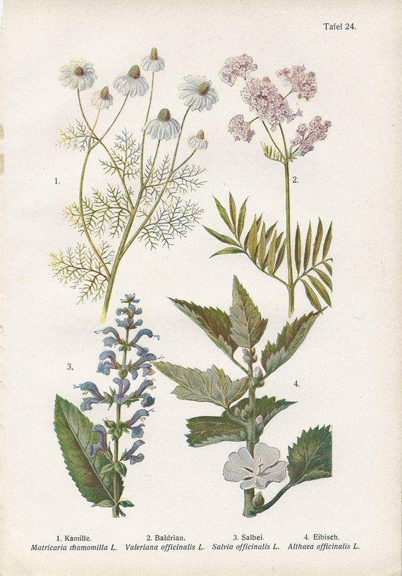 Vintage Botanical Illustration 1920s Chamomile Valerian Etsy Botanical Illustration Botanical Illustration Vintage Botanical Drawings