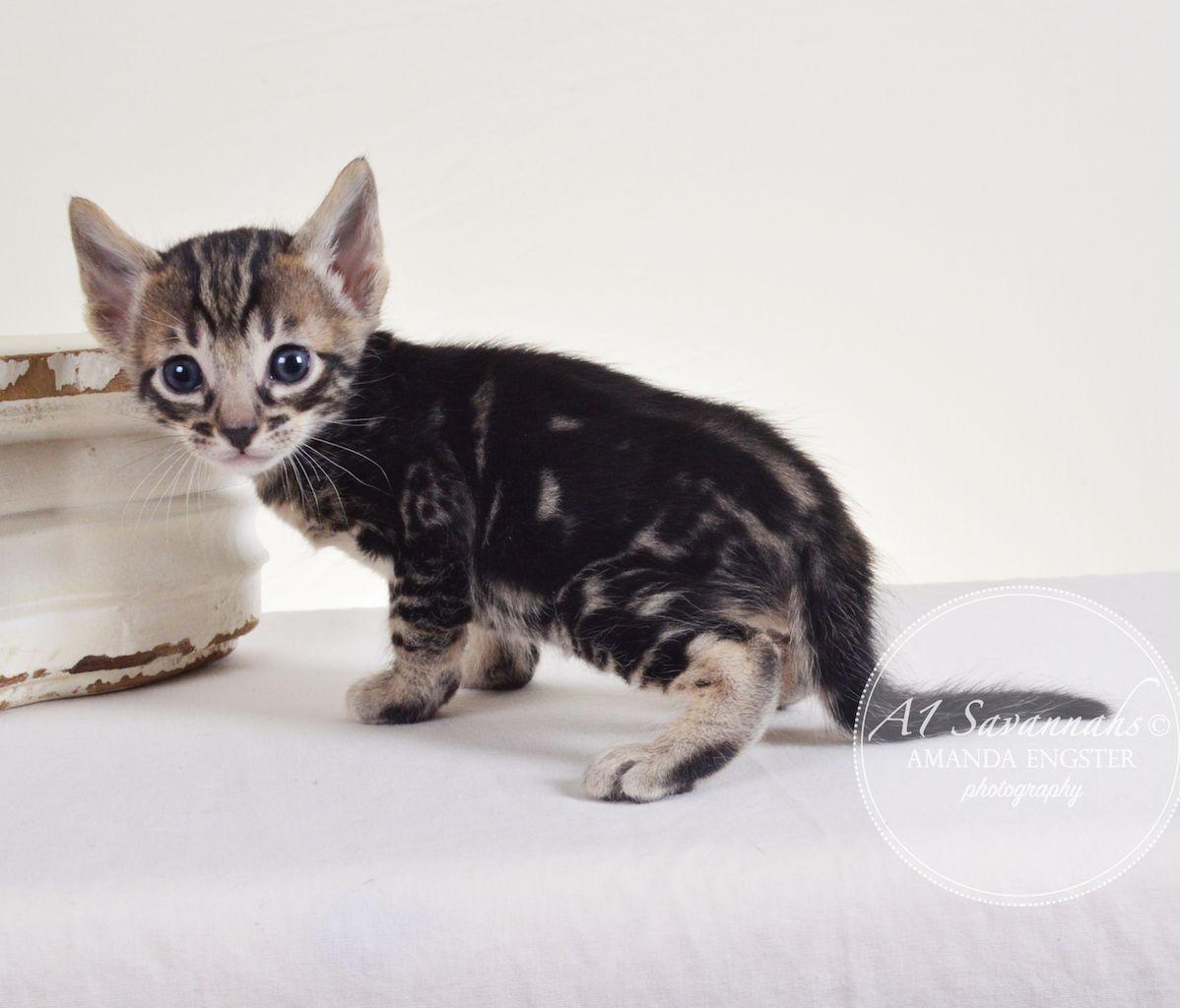 Atticus F5 Savannah Kitten Savannah Kitten Kittens Savannah Kittens For Sale