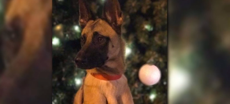 A retired military explosives detection dog is missing in