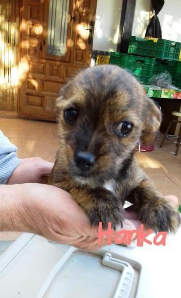 Hund Welpe, Yorkshire X (weiblich, 4 Monate) Spanien