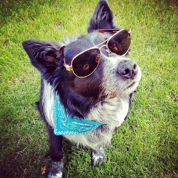 Beethoven The Border Collie On Instagram Dog Dogs Sunglasses