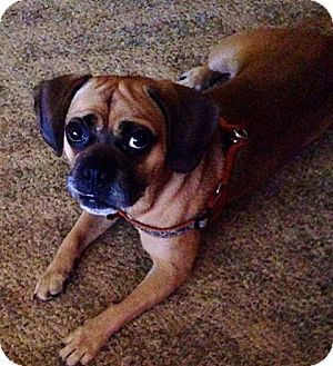 Pin By Anneliese Galiano On Beagle And Beagle Mixes Pug Beagle