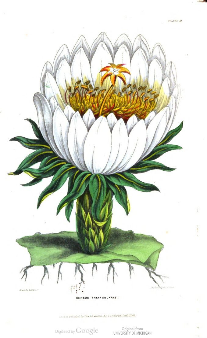 Cereus triangularis, in The British florist; or, Lady's journal of horticulture, Vol 2, 1846.