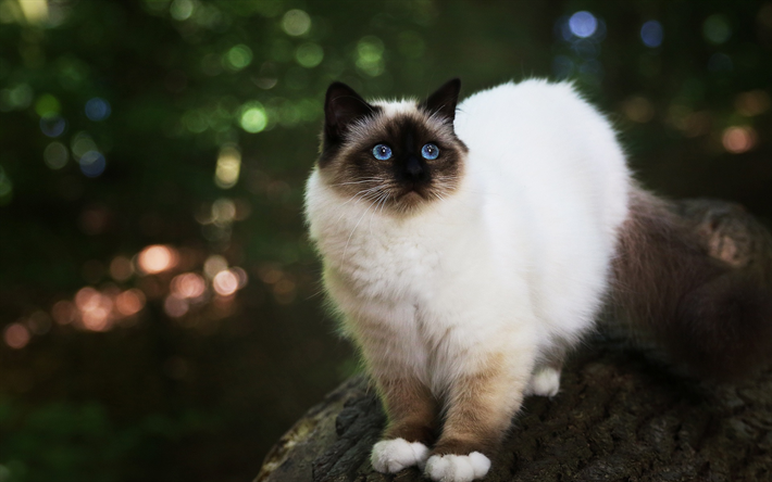 Download Wallpapers Siamese Cat Fluffy White Cat Pets Cat With Blue Eyes Cute Animals Cats Besthqwallpapers Com Cat With Blue Eyes Animals Cat Background