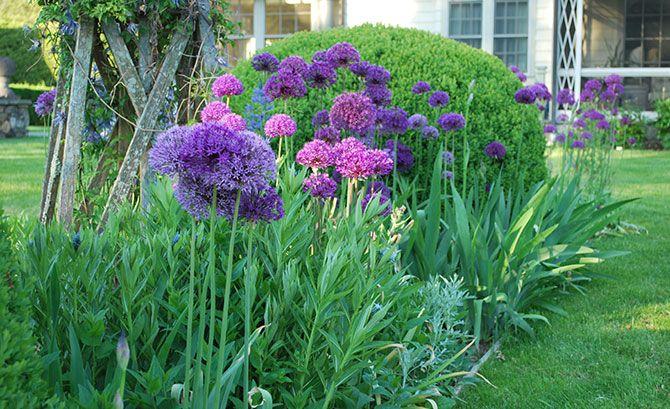 Planting Bulbs in the Garden   Fairfield CT   athomefc.com 'Purple Sensation' Allium