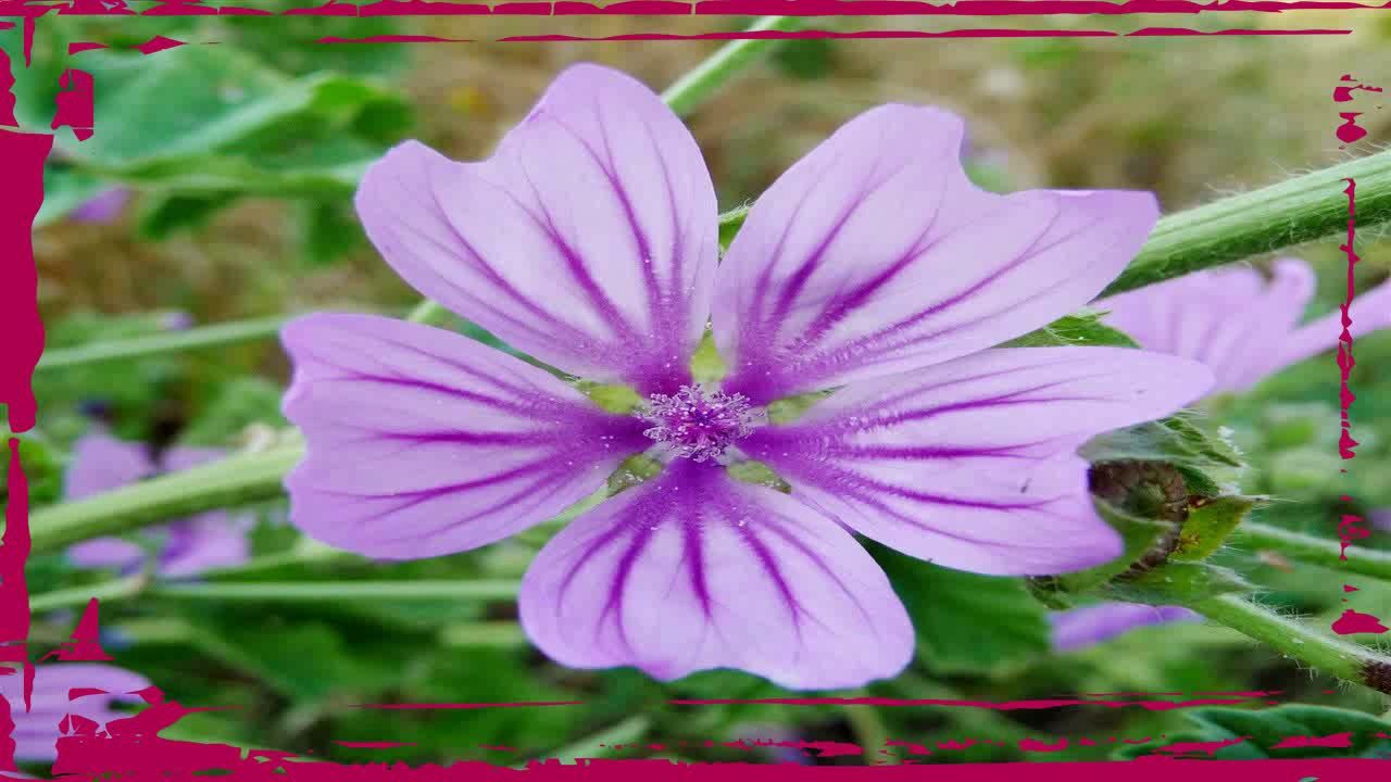 Para Que Sirve Malva Malva Propiedades Medicinales Https Youtu Be Katk0yi2t6m Plants