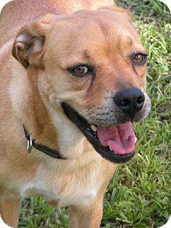 Dd 545 Pugador Pug Labrador Retriever Labrador Retriever
