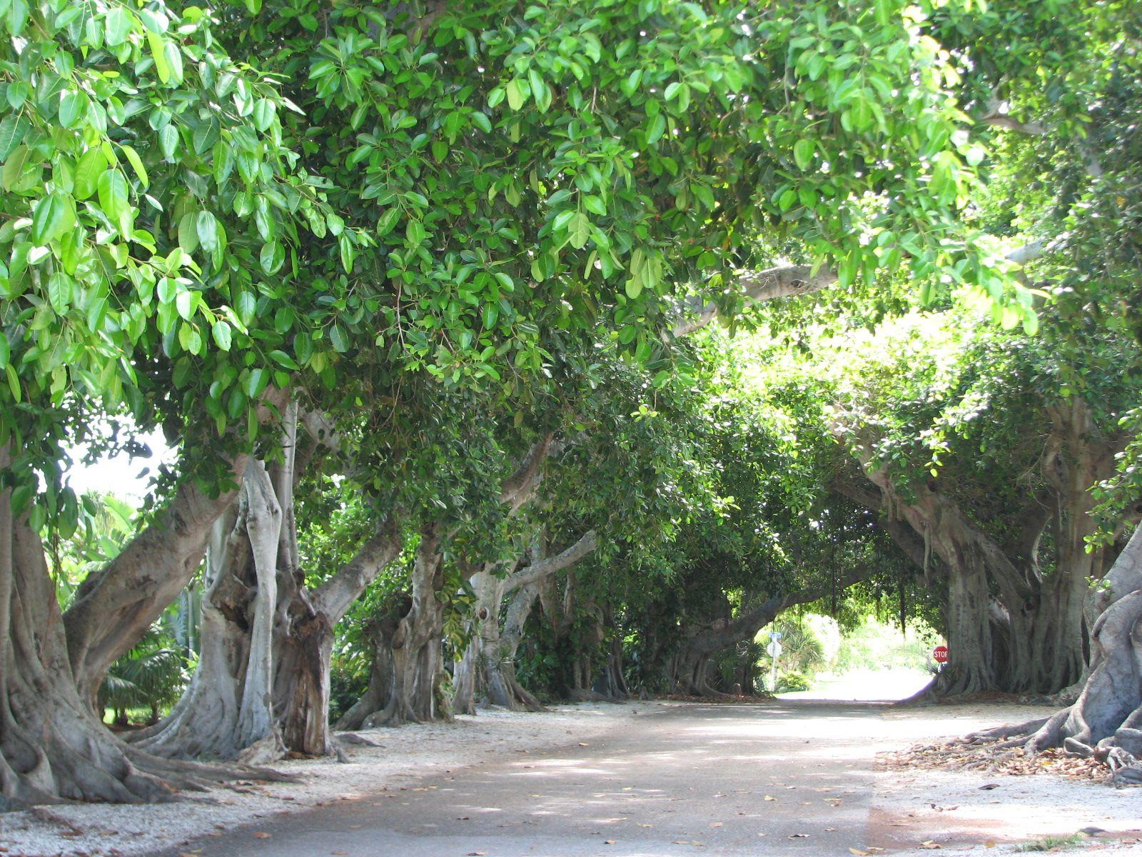 Banyan trees boca grande florida driving down the street