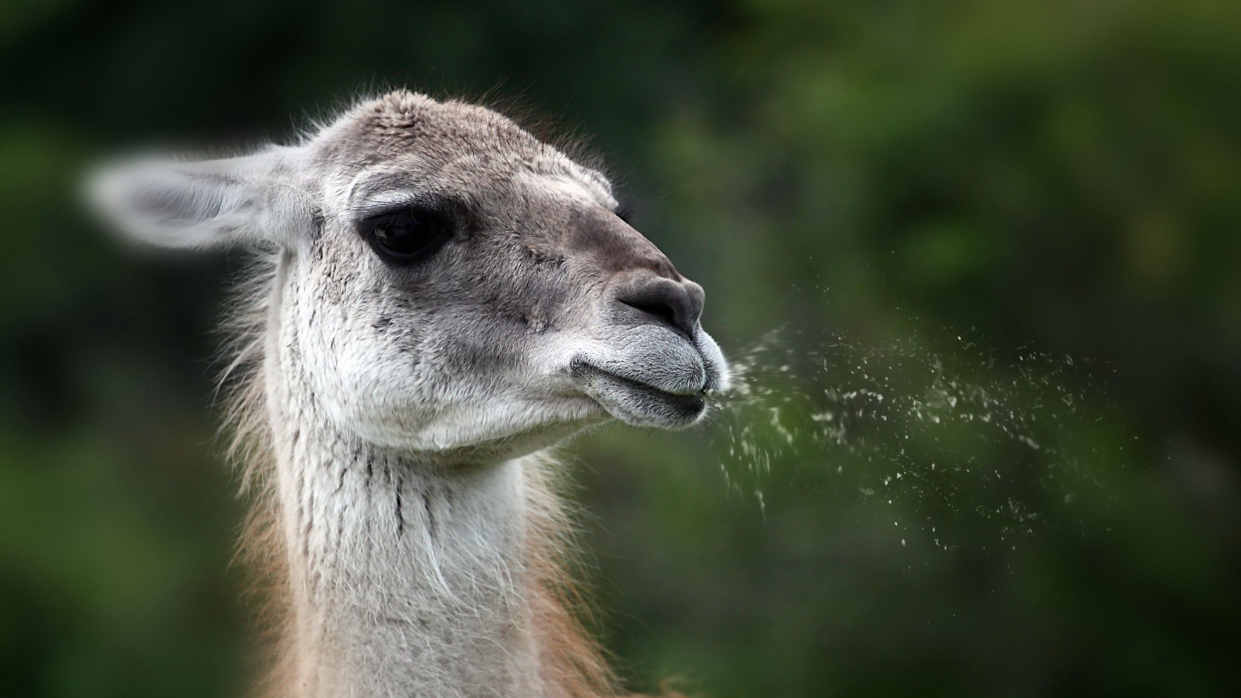 Spitting llama. Funny goat pictures, Goat picture, Goats