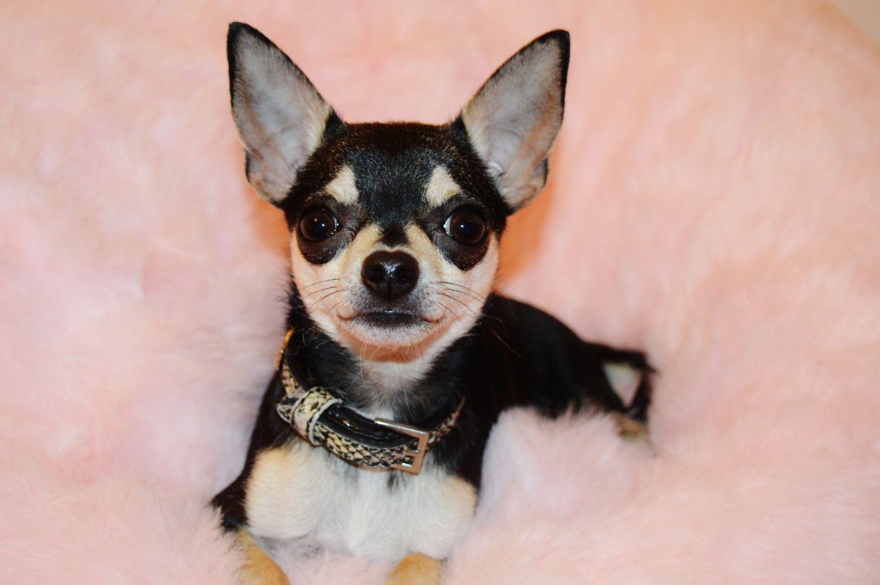 10 Best Chihuahua Dog Names Chihuahua Dogs Dog Names Chihuahua Mom