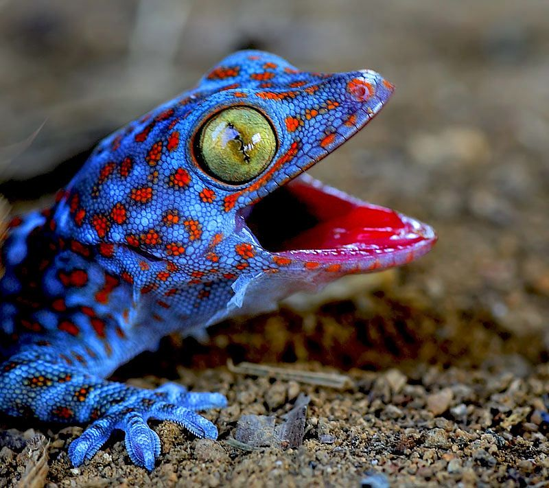 Amazing Colorful Chamilions: Gecko. Not Sure If He Is Burping, Singing Or Hissing