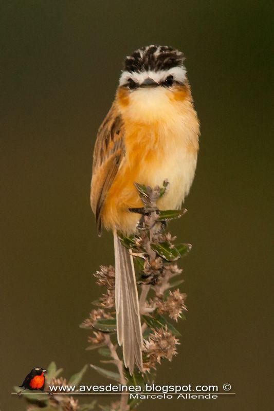 Aves del Nea: Culicivora caudacuta