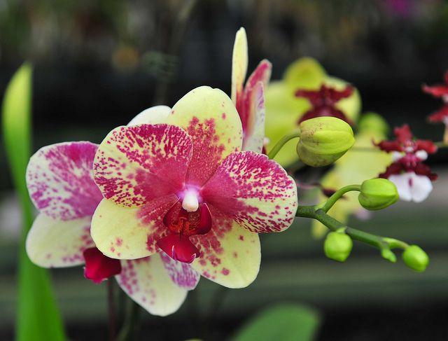 Hawaii Orchid 002 Orhidei Cvety Rasteniya