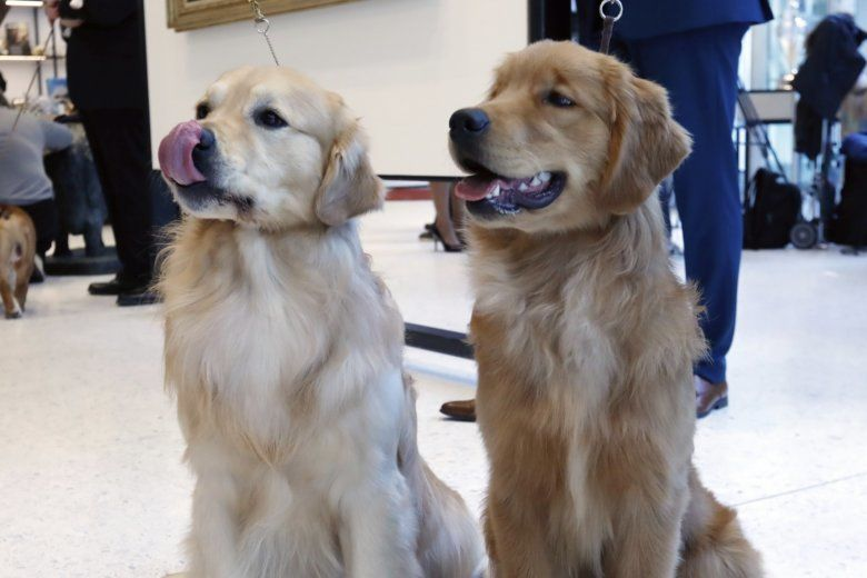Lab Or Golden Retriever In Dc The Most Popular Dog Breed Is