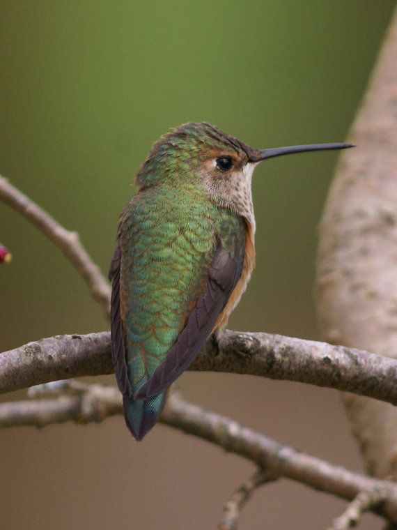 Female Rufus Hummingbird8x10 picture by PhotosbyAdrienneMay, $35.00