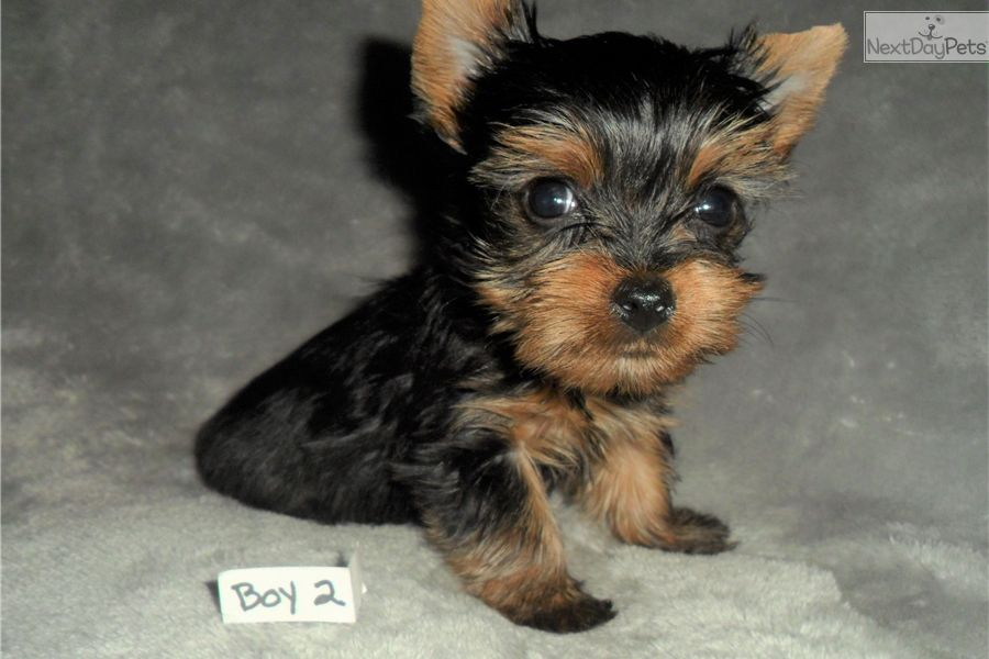 Yorkshire Terrier Yorkie Puppy For Sale Near St Louis Missouri