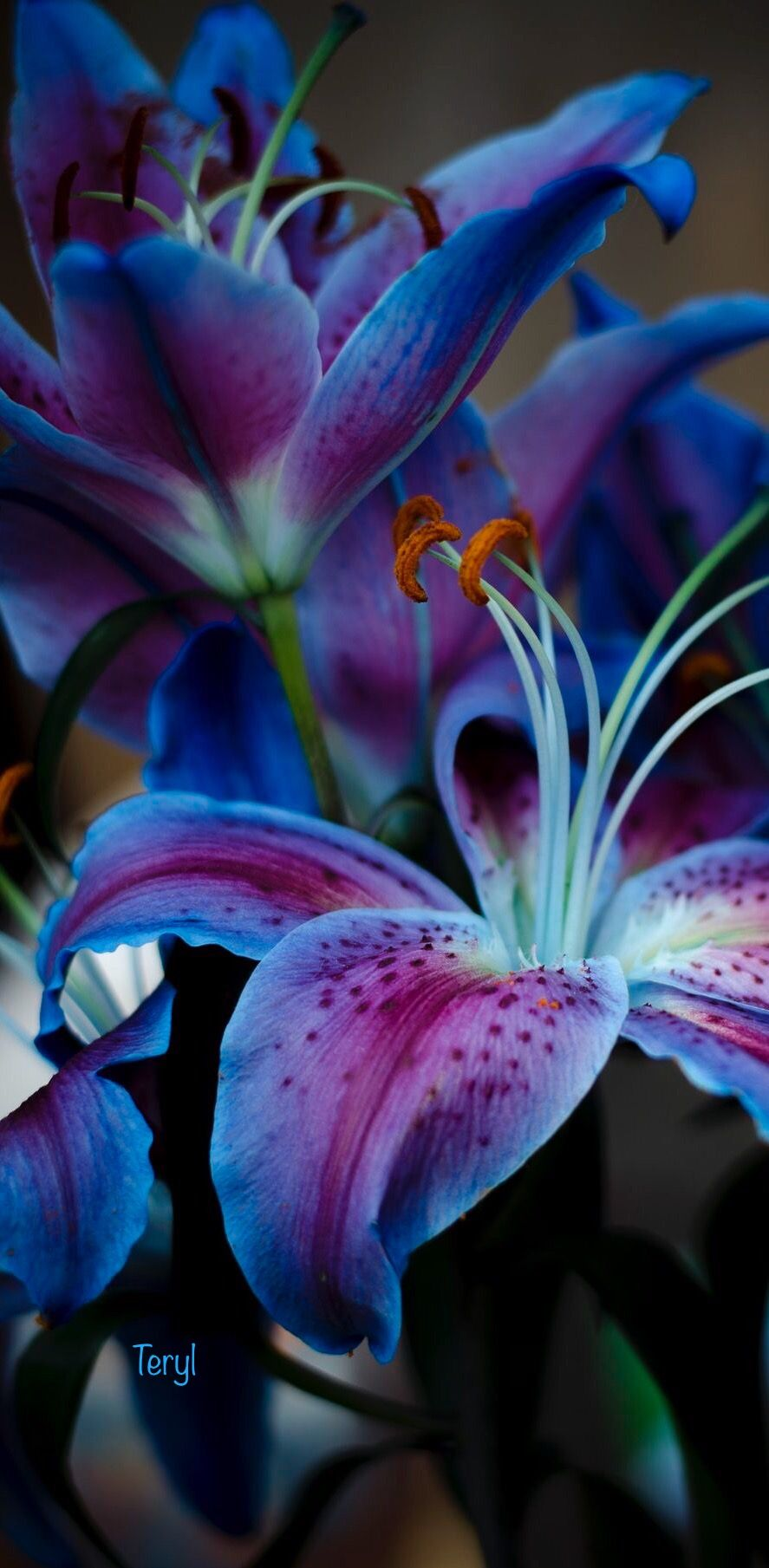 Pin By Teryl On Royalcobalt Blue Pinterest Flowers