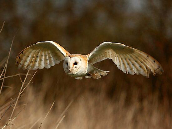 Rase Motte Barn Owl Owl Images Owl