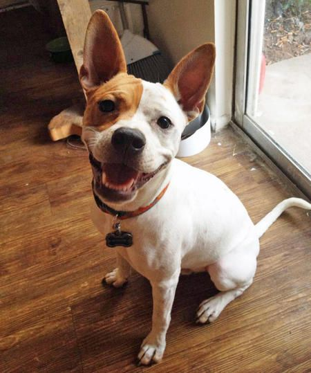 french bulldog jack russell mix auggie the basenji jack russell terrier mix beautiful 6712