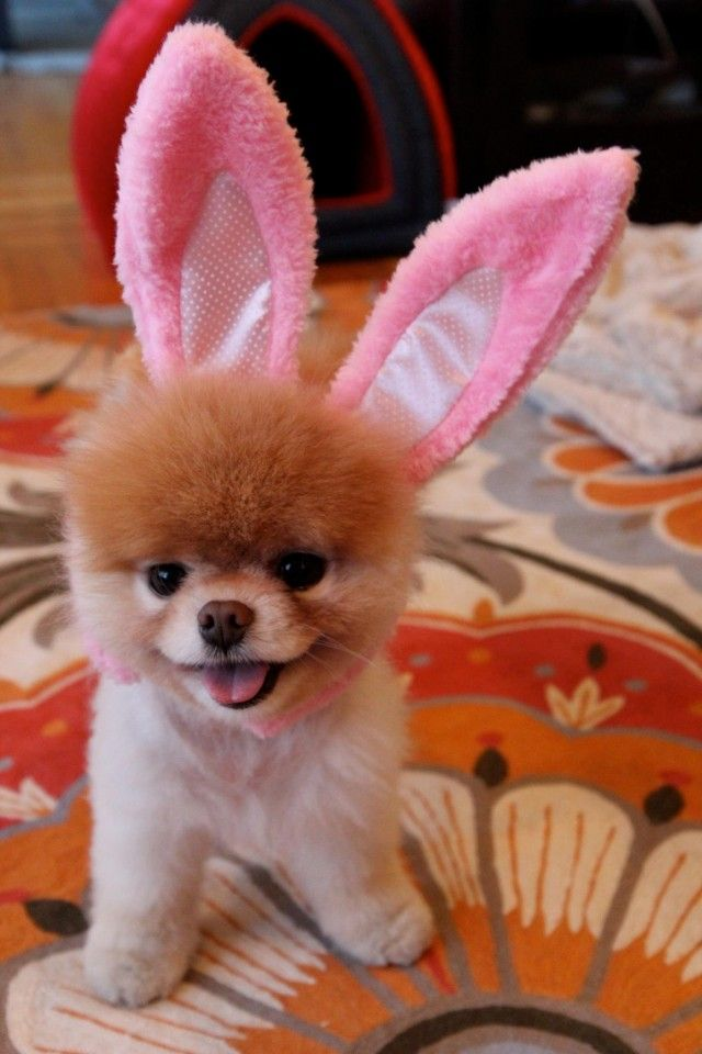 Boo the dog, in his Easter outfit.