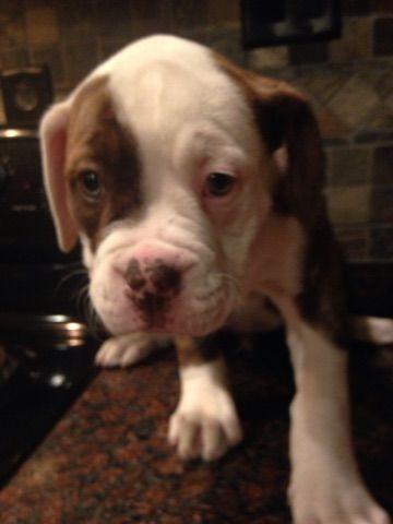 Litter Of 8 American Bulldog Puppies For Sale In Zephyrhills Fl