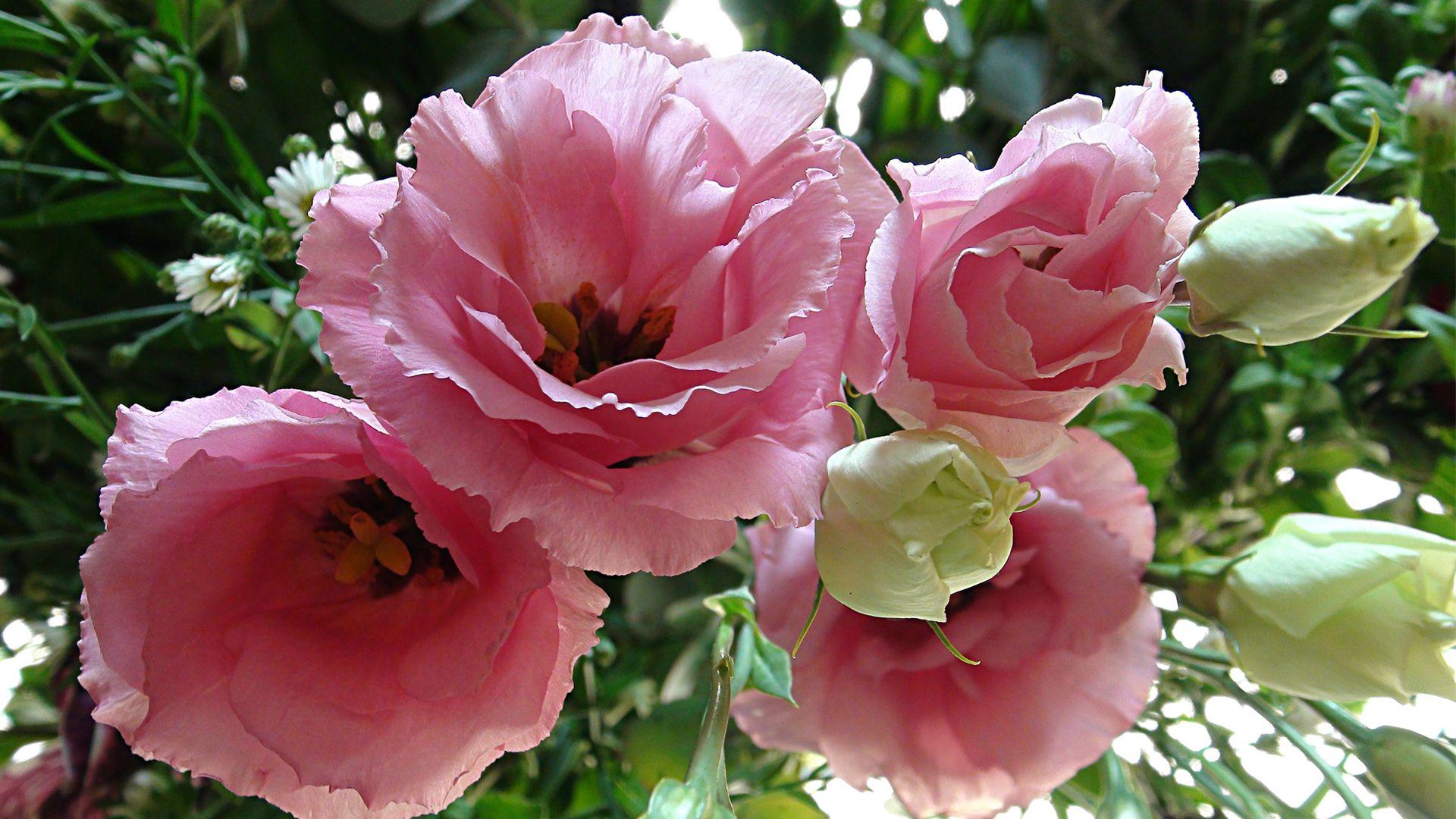 Lisianthus - flowers that look like roses | Flower Wallpapers | Lisianthus flowers, Flowers ...
