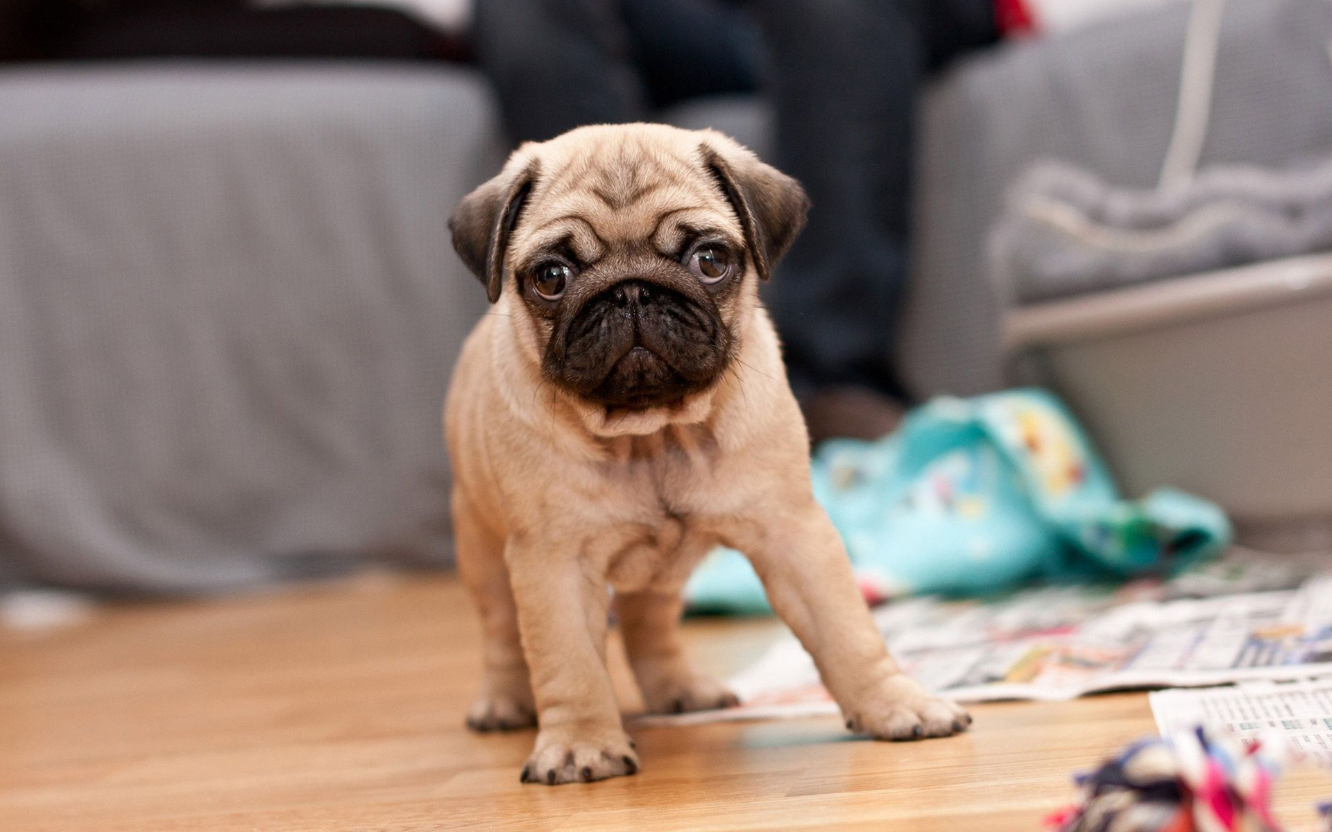 Pug Puppy Hd Wallpaper Free,Download,HD Wallpapers,Dogs