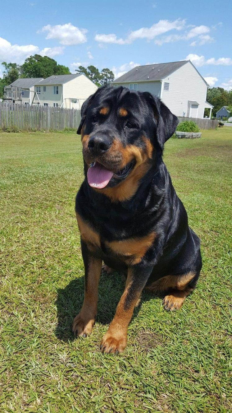 Outstanding Rottweilers Information Is Available On Our Website Have A Look And You Wont Be Sorry You Did Rottweilers Dog Training Rottweiler Rottweiler Dog