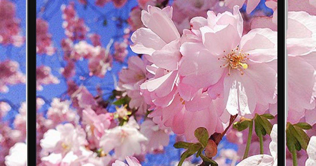 20 Gambar Bunga Buat Wallpaper Wallpaper Bunga Sakura Hd Terbaru For Android Apk Download Download Sunflower Drop Wallpape Gambar Bunga Bunga Bunga Buatan
