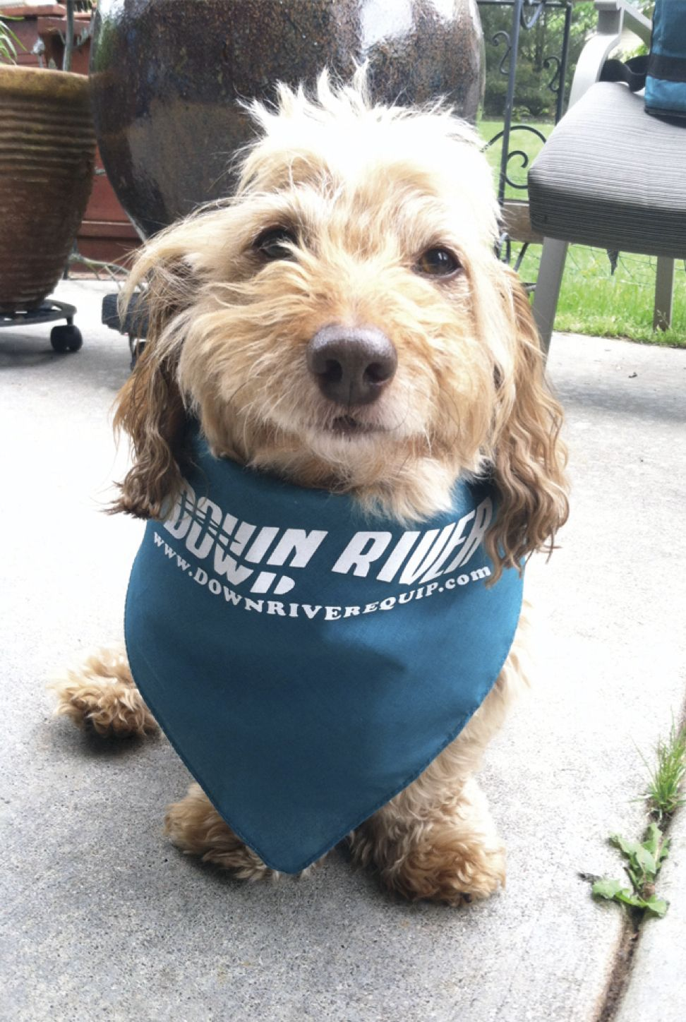 This Is Benny He S A Little Doxiepoo Dachshund Poodle Mix And