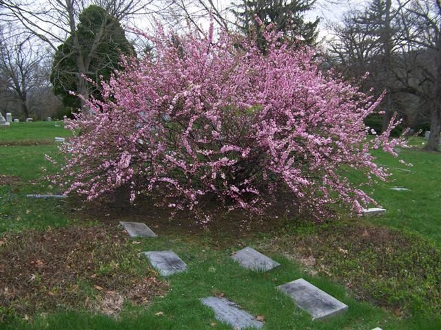 Prunus glandulosa dwarf flowering almond pink to white blooming prunus glandulosa dwarf flowering almond pink to white blooming varieties avail mightylinksfo Images