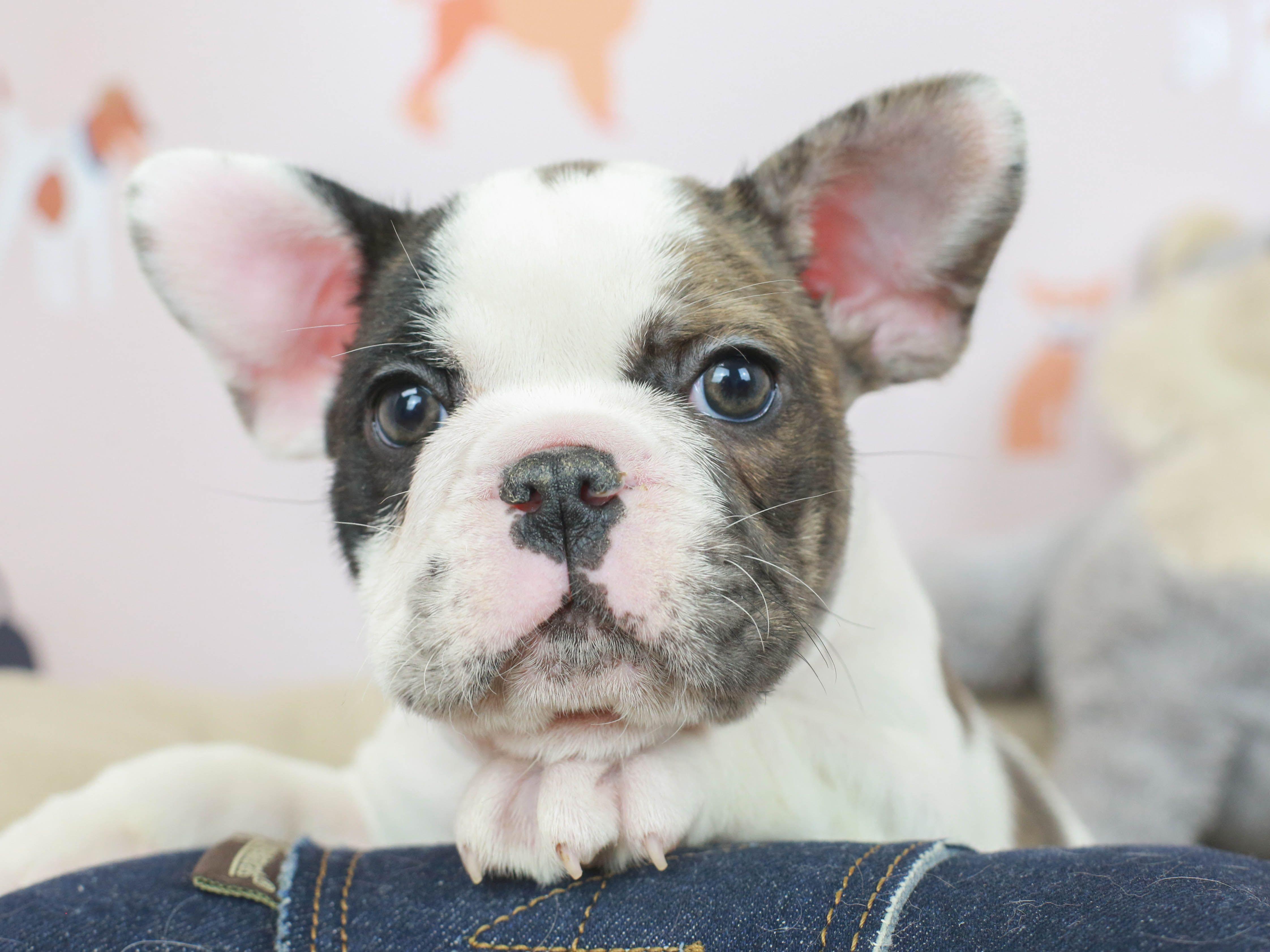 Litter Of 3 Taco Terrier Puppies For Sale In Tucson Az Adn 27694 On Puppyfinder Com Gender Female Age 5 Week Puppies For Sale Taco Terrier Terrier Puppies
