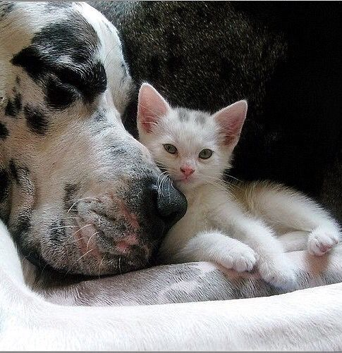 Great Dane And Kitten Dogs Kids Cute Animals Animals
