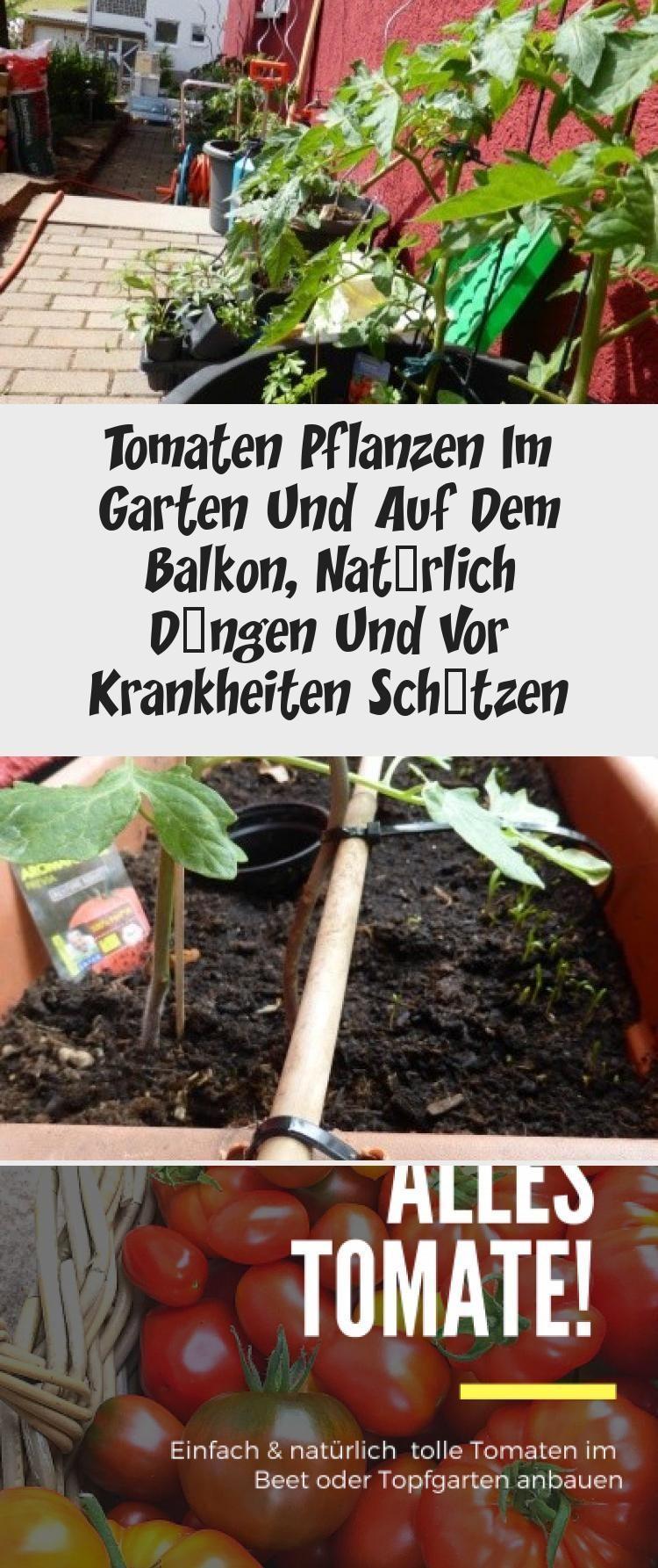 Tomaten Pflanzen Im Garten Und Auf Dem Balkon Naturlich Dungen Und Vor Krankheiten Schutzen Tomatenpflanzen Tomaten Pflanzen Aber Richtig Standort Naturlic Tomaten Pflanzen Pflanzen Tomaten