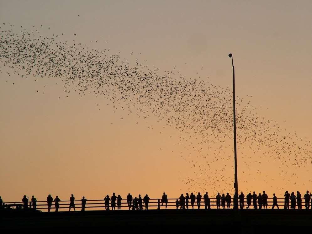 Bats over Austin, Texas - Flickr/J. Griffin Stewart