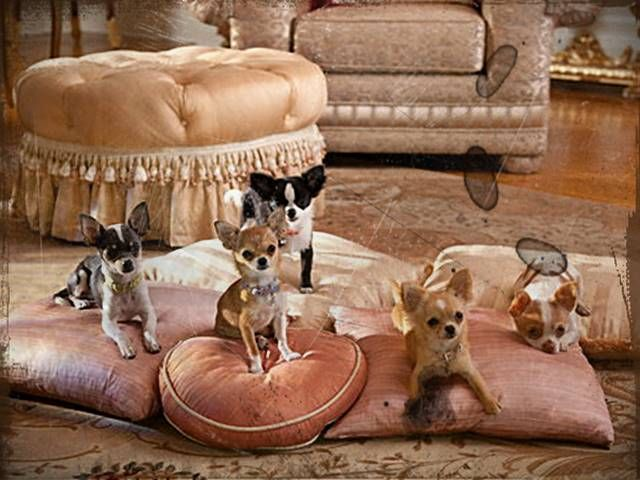 Chihuahua Puppies For Sale Minnesota