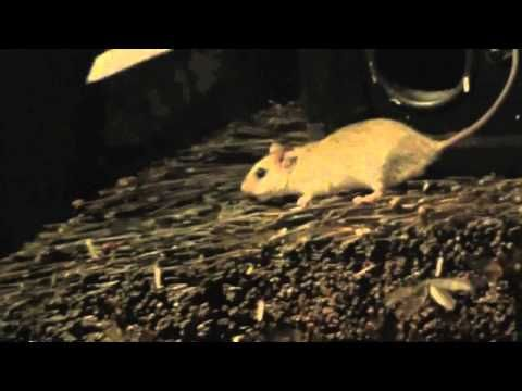 Cute Greedy Mouse Deploys Subwoofer Attack.