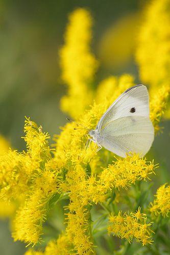 White And Yellow Kleine Blumen Sonnenschein Und Motte