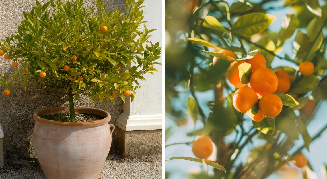 Oranger En Pot Tous Nos Conseils Pour Bien Le Cultiver En 2020 Cultiver Porte Greffe Arbre Fruitier