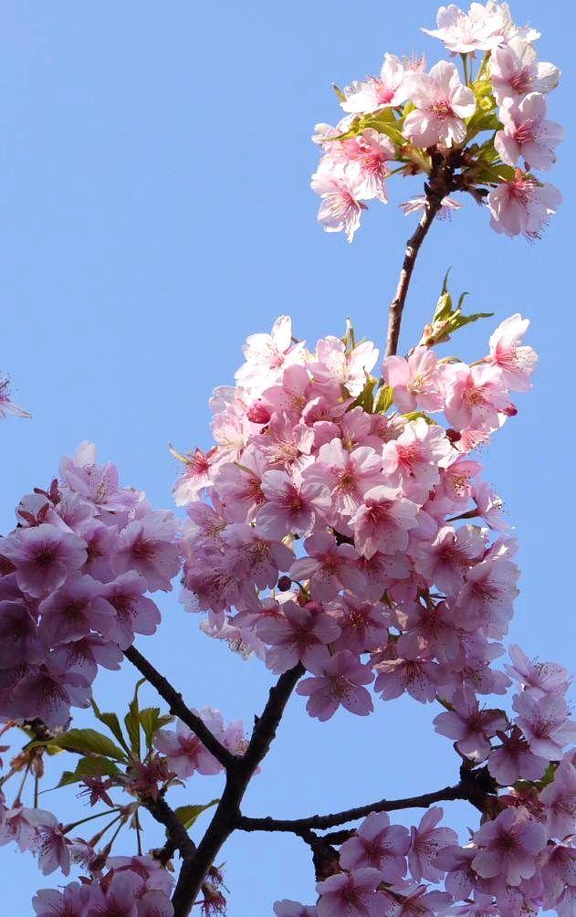 Cherry Blossoms At Tokyo Disneyland 3 Tokyo Disneyland Disneyland Cute Japanese