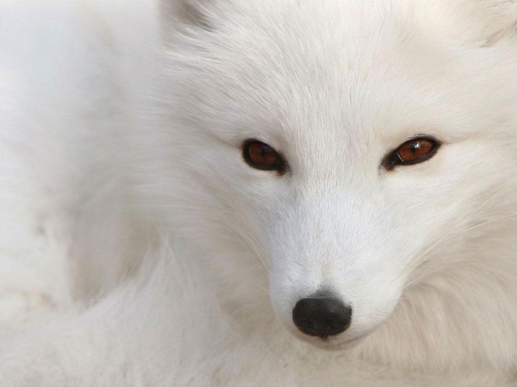 Cute Snow Animals Screensavers   Faça seu comentário sobre Imagens de Raposa, muitas espécies