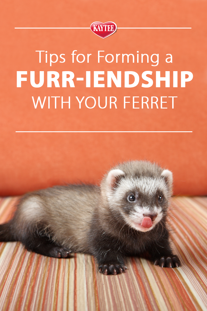 Ferret Bonding Tip Give Them Out Of Habitat Time Ferret Small Pets Ferret Cage