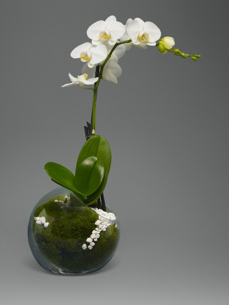 Single stem white orchid orchids garden