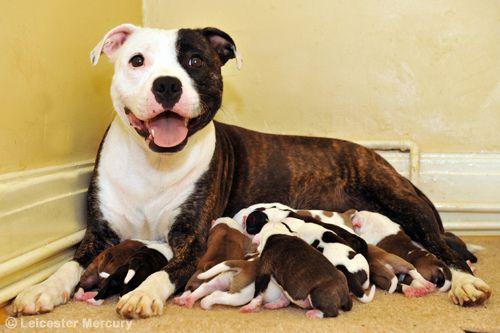 Staffordshire Bull Terrier Pitbull Terrier Pitbulls Bull Terrier