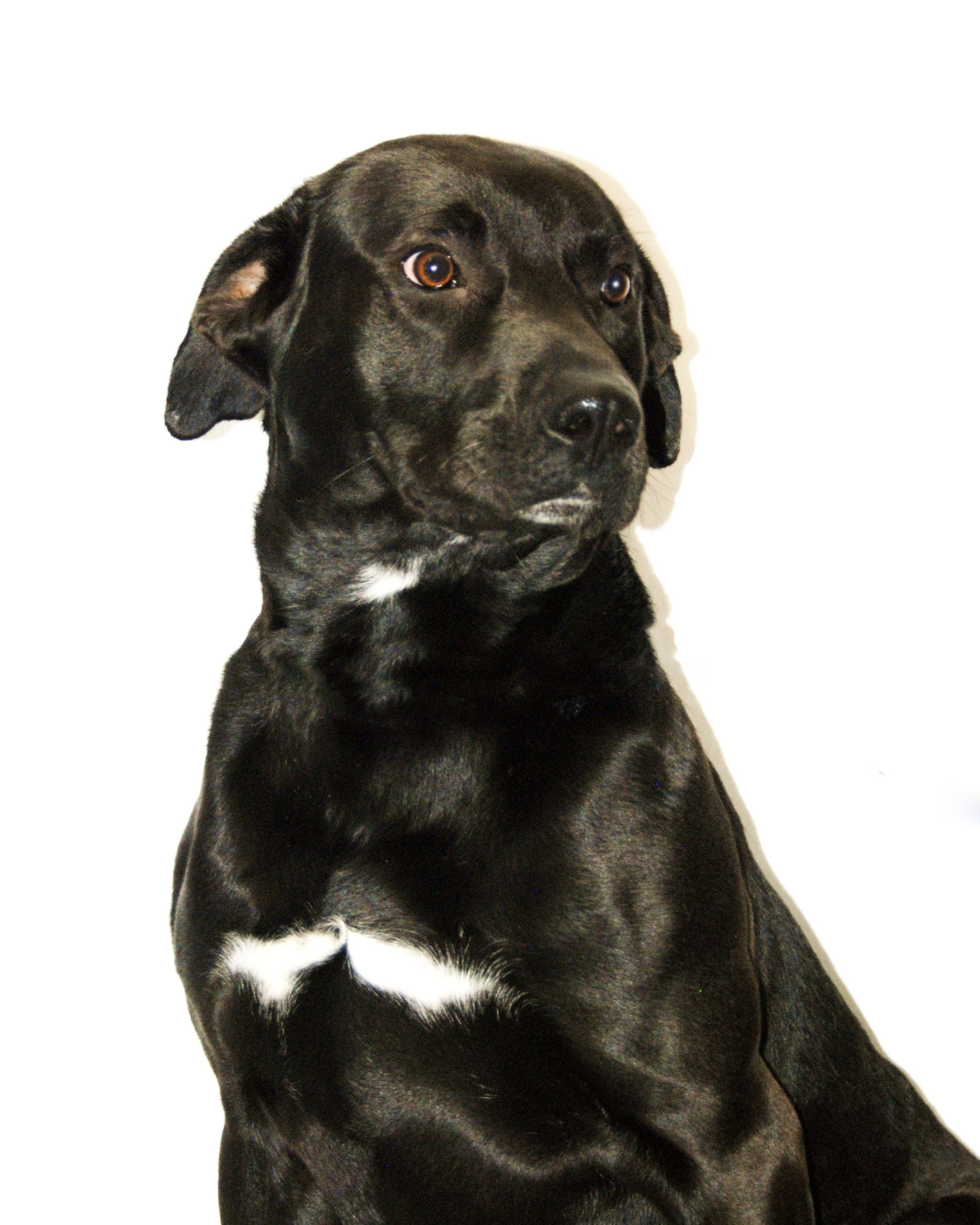 ***TO BE DESTROYED 7/14/14***14018 Breed Labrador