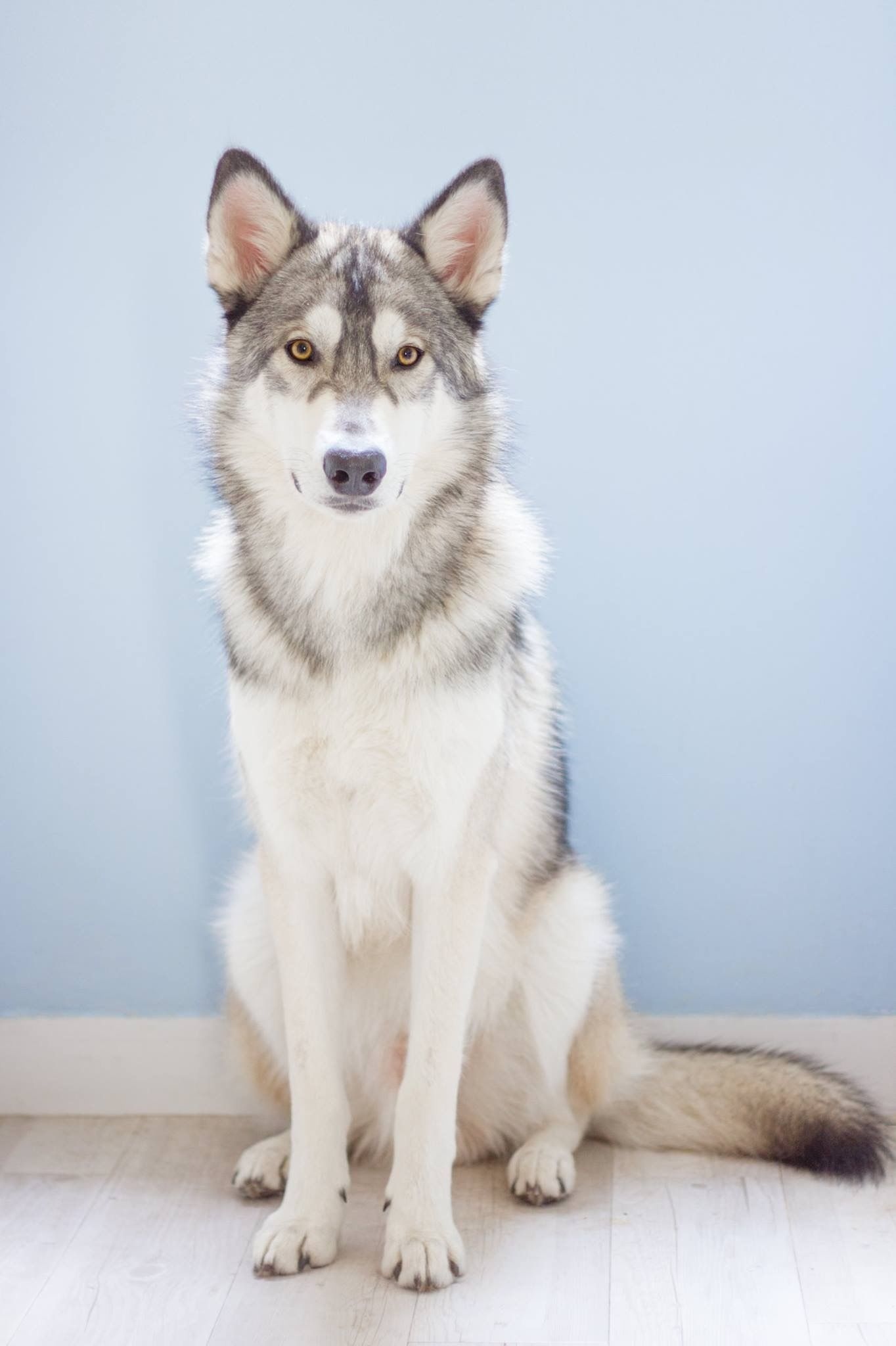 Best Photos Images And Picutures Ideas About Tamaskan Dog Dogs