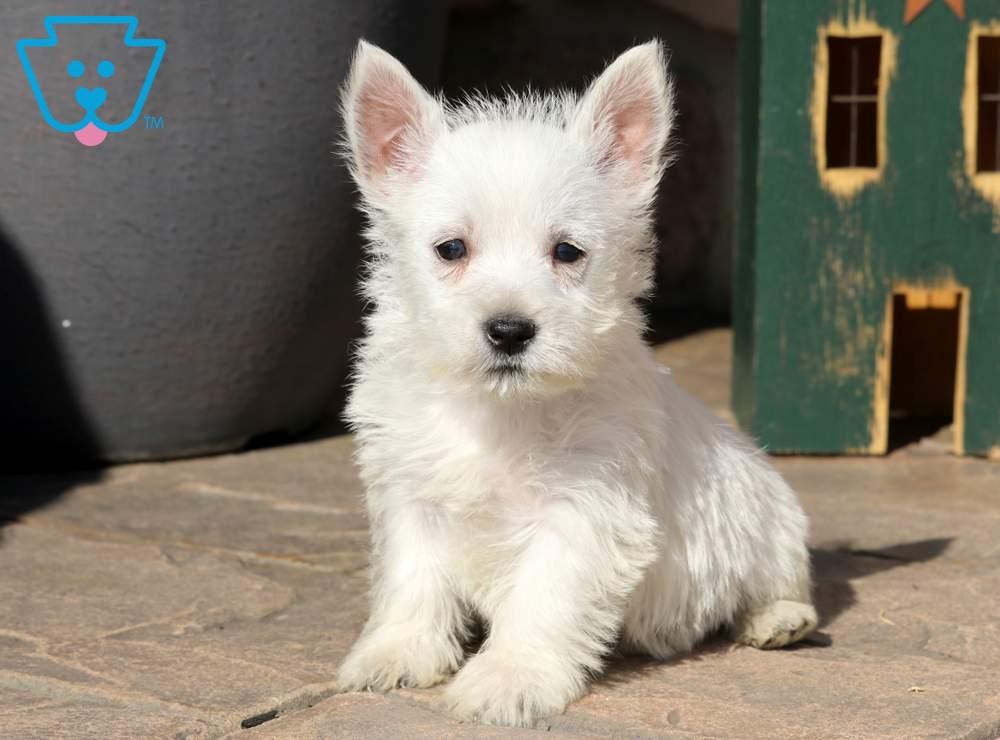 Master West Highland Terrier Puppy West Highland Terrier